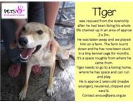 Tiger - was rescued - now in foster care - please adopt me.