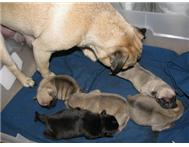 Pug Puppies Ready For Sale