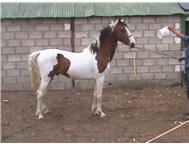 pinto stallion available