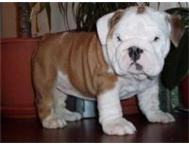 Champion English bulldog puppies Mpumalanga