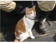MISSING: Ginger-and-white female Cat