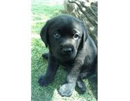 Male Pedigree Labrador Retriever in Dogs & Puppies For Sale North West Potchefstroom - South Africa