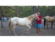 Horses For Sale : Texas : Quarter H...