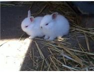 small angora mix breed rabbits for sale