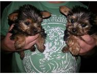 miniature yorkshire terriers puppie... Pretoria