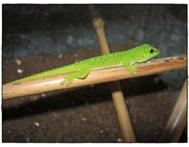 New Madagascar Giant Day Gecko babies to swap for what you have.
