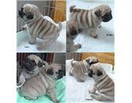 STUNNING PUG PUPPIES FOR SALE. (1800Rands)