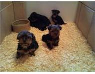 Yorkshire Terrier Pedigree Puppies Johannesburg Gauteng