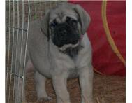 7 weeks old english mastiff puppies for sale