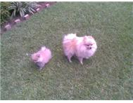 TOY POM - FEMALE - 5 MONTHS OLD Empangeni