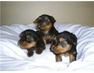 Miniature & Teacup Yorkies for Sale