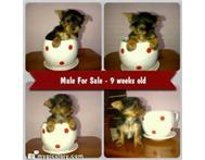 Small Yorkshire Terrier Male for Sale