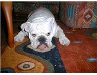 bulldog fully grown female for sale...