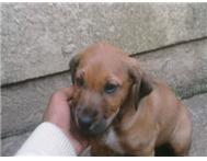 Rhodesian Ridgeback Puppies for sal...