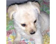Female miniature pinscher x Maltese