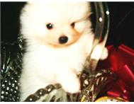 Toy Pomeranian puppy looking for a ...