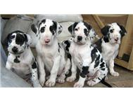 Quality Great Dane Puppies now ready for sale !!