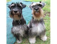 Miniture Schnauzer Puppies