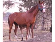 Saddler x breed Mare
