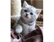 Pedigree British shorthair kittens ... Johannesburg