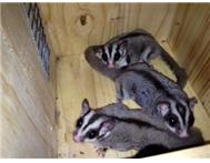 Trio of Adult Sugar Gliders for Sal...
