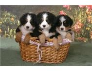 Bernese Mountain Dog puppies for loving homes