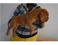French Mastiff - Dogue de Bordeaux ...