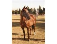 Stunning pony FOR LEASE in Summerveld Hillcrest