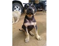 Rare black boerboels