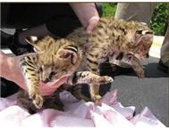 Serval/ Caracal / kittens Available