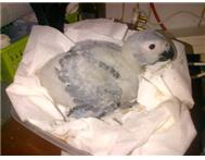 Handreared Red tail African Grey ba...