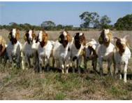 find out more about the best boer goat stud selling best prices Ngubevu