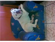 KUSA Reg English Bulldog