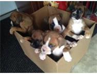 BOXER PUPPIES FOR SALE cape town