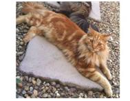 Cat Ginger/Red Longhair Lost in Goedemoed saturday 11/5
