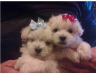 Miniature Maltese Puppies - Durbs