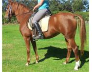 15hh Boerperd X for sale
