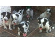 Male & Female Crossbred Border Collie in Dogs & Puppies For Sale Free State Bloemfontein - South Africa