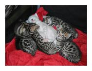 Well trained Bengal kittens Available