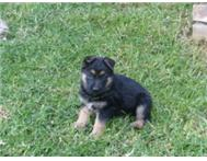 ALASATIAN X GERMAN SHEPHERD PUPS (3)