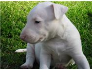 Male & Female Purebred Bull Terrier in Dogs & Puppies For Sale Mpumalanga White River - South Africa