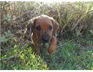 Registered Rhodesian Ridgeback puppies for sale