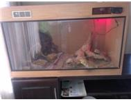 Bearded dragon breeding pair for sale