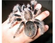 Tarantulas great starter/intermedia...
