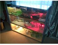 green iguana and 4bearded dragons and gages