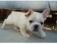 Cute french bulldog puppies Cape Town