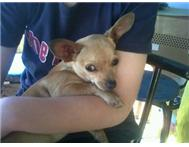 2 x Chihuahua puppies lost