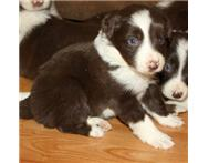 border collie puppies avialable