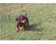 Purebreed Miniature dachshunds pupp...