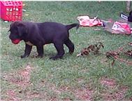 Male Crossbred Boerboel in Dogs & Puppies For Sale Gauteng Randburg - South Africa